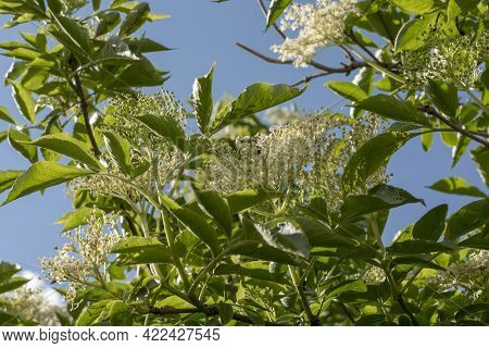 Elderberry (sambucus ) Flower And Foliage. Plant Is Also Known As Elder, European Elderberry Or Euro