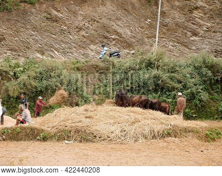 Traditional Cultural Antique Retro Vintage Milling Rice Life Of Napali Use Cow For Milling Rice Proc
