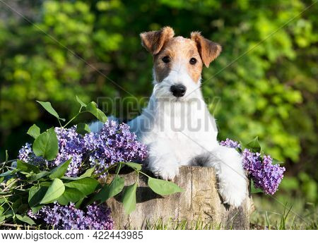 fox terrier, portrait of a terrier dog against the background of a blooming garden