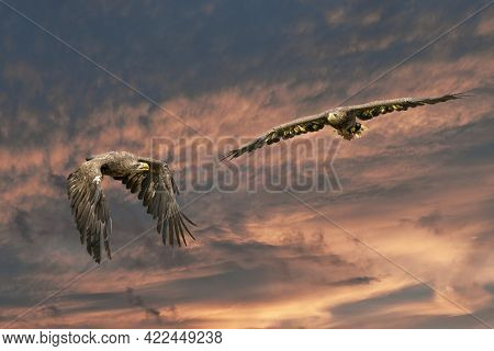 Two European Sea Eagles Flying In A Blue And Red Dramatic Sky. Birds Of Prey In Flight. Flying Birds