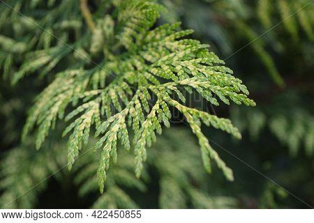 Evergreen Background, Fresh Summer Cypress Leaves. Green Leaves Background.texture Of Cypress Branch