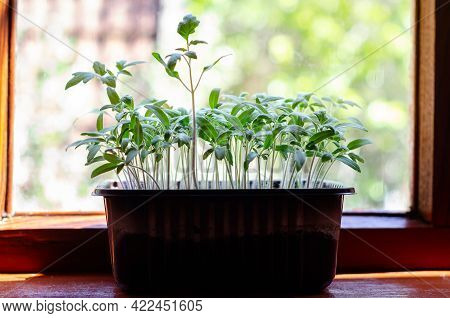 A Young Seedling Grown From Seeds In Boxes At Home On A Windowsill. Tomato Seedlings In Pots. Sowing