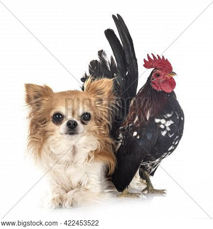 Malaysian Serama And Chihuahua In Front Of White Background