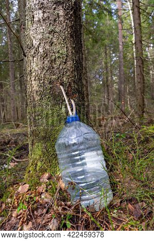 Collecting Birch Sap In The Spring. Harvesting Birch Sap. A Bottle In Which The Juice Drips Through