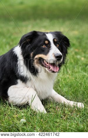 Smartest Dog Breed In The World. Charming Black And White Red Tricolor Border Collie Lies In Park On