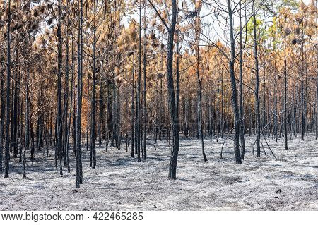 Pine Trees In Pine Forest After Fire Burning Turns To Black And Brown Colors. Floor Covered By Ashes