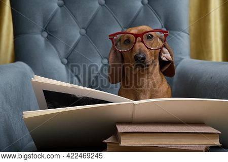 A Dachshund Dog, Reading A Book In A Comfortable Chair, Looks Through Glasses Directly Into The Came