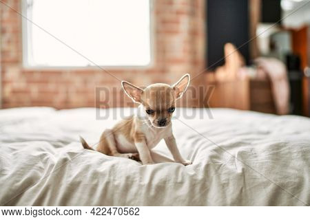 Beautiful small chihuahua puppy standing on the bed curious and happy, healthy cute babby dog at home
