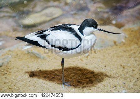 The Shiloklyuvka Bird (lat. Recurvirostra Avosetta) Stands On One Leg Against The Background Of Rock