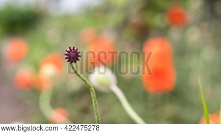 Small Poppy Head, Closeup Of Poppy Bud. Red Flowers. Copy Space Concept. Opium And Drug Flower In Th