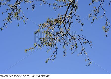 White Poplar Branches With Flowers Against Blue Sky - Latin Name - Populus Alba