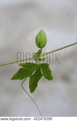 Snow Queen Passion Vine Flower Bud - Latin Name - Passiflora Snow Queen