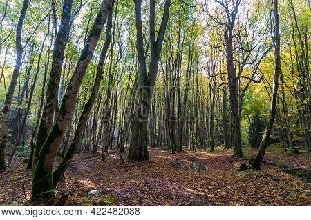 Autumn Forest. The Sun's Rays Through The Trees. A Walk Through The Autumn Forest. Path In The Fores