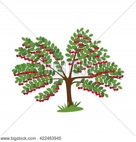 Sweet Cherry Tree With Berries Isolated On White. Juicy Harvest Of Stone Fruits. Bright Red Berries