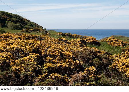 Coastal Sea View With Shrubbery And Gorse Bushes