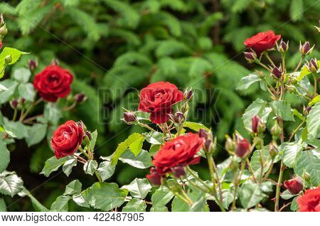 Red Roses On A Bush In A Garden. Beautiful Rose As Symbol Of Love.