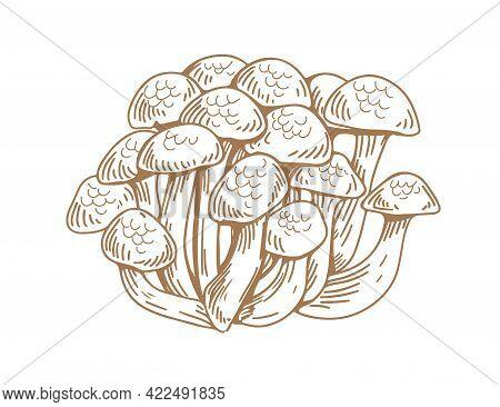 Outlined Asian Shimeji Mushrooms. Bunch Of Wild Forest Fungi. Vintage Botanical Drawing Of Japanese