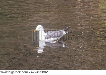 Seagull Landed On A Pond In Brittany