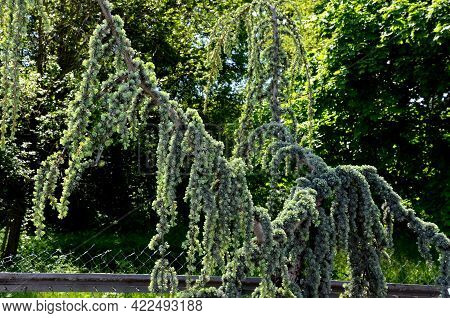 The Overhanging Form Of Atlantic Cedar With Conspicuously Blue-silver Cedar Needles Is Evergreen. Gr