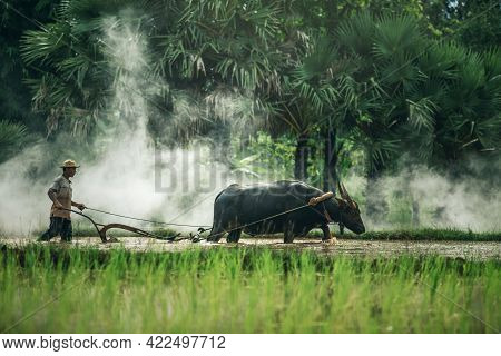 Asian Farmer Using Buffalo Plowing Rice Field, Thai Man Using The Buffalo To Plow For Rice Plant In