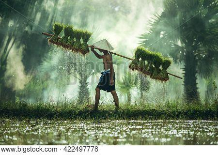Asian Farmer On Green Fields Carrying Seedlings For Rice Plant In Rainy Season, A Poor Thai Farmer W