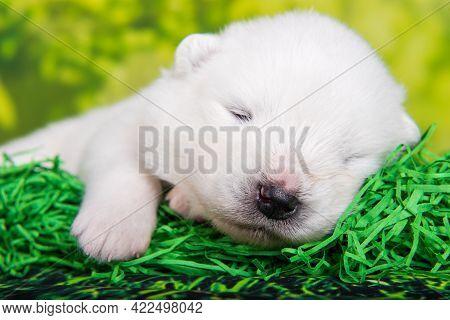 White Small Samoyed Puppy Dog On Green Grass Background
