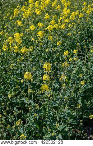 Botanical Collection, Rapeseed Brassica Napus Bright-yellow Flowering Plant, Cultivated For Its Oil-