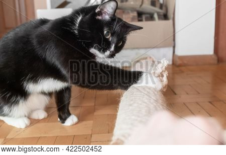 Domestic Cat Touching Makeshift Cat Tree Lying On Floor At Home With His Paw. Side View.