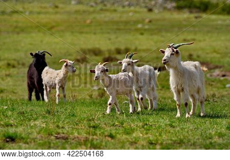 Russia. South Of Western Siberia. Gorny Altai. A Small Flock Of Domestic Goats Graze In The Mountain