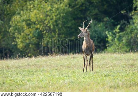 Positive Warm Coloured Photo Of Smiling Red Deer On Sunlit Meadow In Autumn
