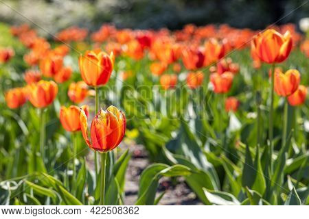 Group Of Orange Tulips With Stamens And Pestle Is On A Blurred Green Background