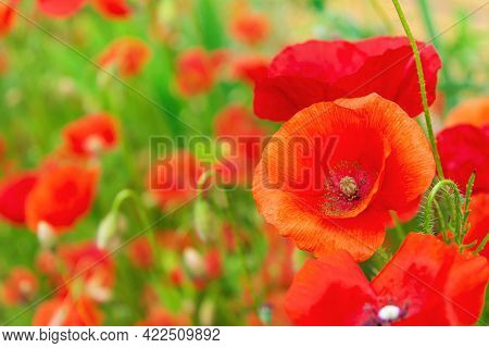 Poppy Flowers Or Papaver In Garden. Spring Nature Background