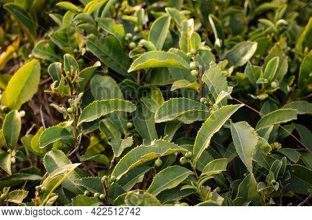 Tea Leaf On A Tea Plantation. Growing Tea Bushes In Sunlight. Healthy Tonic Drink.
