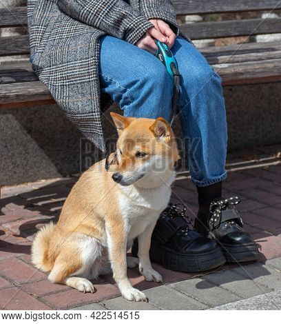 Adorable Red Shiba Inu Dog In A Red Collar Sits Next To The Owner On A Sunny Summer Day. Front View