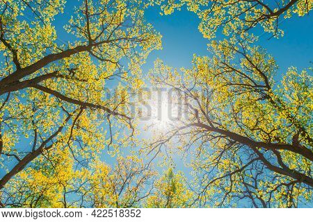 Sun Shining Through Canopy Of Tall Trees With Young Spring Folliage Leaves Lush. Sunlight In Deciduo