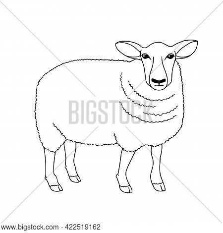 Outline Vector Standing Sheep. Series Of Livestock, Farm Animals. Hand Drawn Line Art Sketch, Doodle