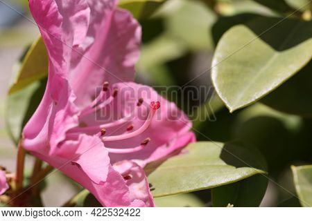 Pistil With Stamens In A Rhododendron Flower