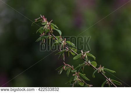 Twig With Blossoming Green Leaves On A Blurred Background