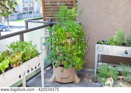 A Tall Vertical Garden Sits On An Apartment Balcony (patio) With Fresh Salad Greens, Herbs And Veget