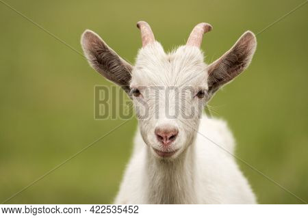 Portrait Of A Young Curious Domestic Goat Of White Color On A Green Background. Selective Focus.