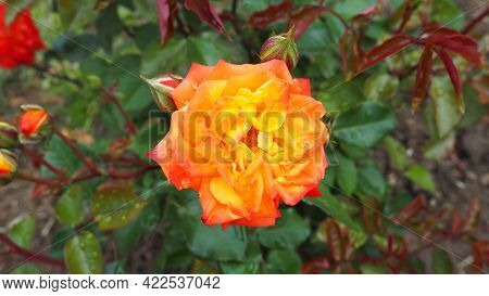 Yellow Rose In The Garden. Yellow, White Nuances In The Color Of The Petals. Green Leaves In The Bac