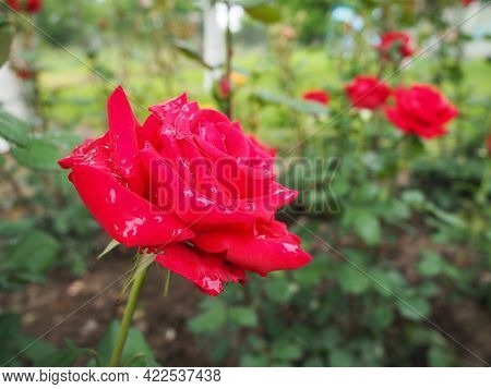 Blooming Romantic Fresh Rouge Rose. Pink And Crimson Roses Bloom In The Garden. Petals With Water Dr