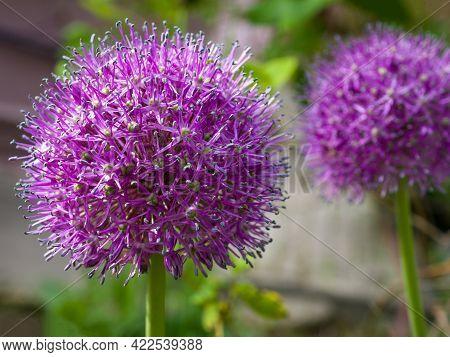 Beautiful Allium Flower. Allium Or Giant Onion Decorative Plant.