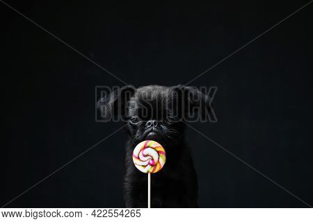 Portrait Of Black Puppy Dog Griffon Or Brabancon With Funny Face Licking Yellow And Pink Round Candy