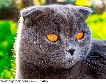 The Head Of A Gray Fold Cat With Orange Eyes. Scottish Fold Cat. British Breed Of Kittens. Felines.