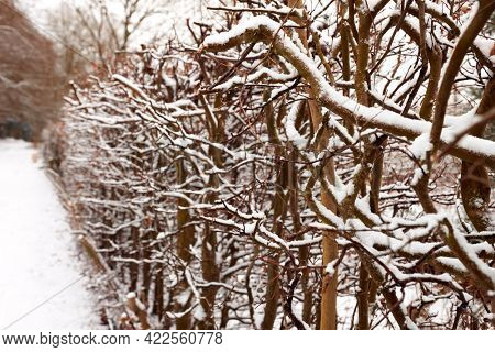 Close Up Of Snow Covered Hedge Beside Track Through Countryside