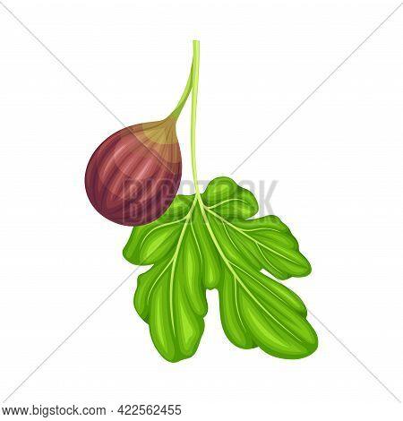 Mature Common Fig Or Ficus Plant Syconium Fruit With Purple Skin Vector Illustration