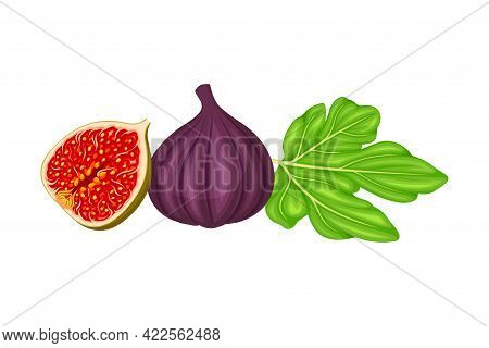 Mature Common Fig Or Ficus Plant Syconium Fruit With Numerous Seeds And Purple Skin Vector Illustrat