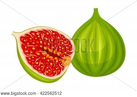 Unripe Common Fig Or Ficus Plant Syconium Fruit With Numerous Seeds Vector Illustration