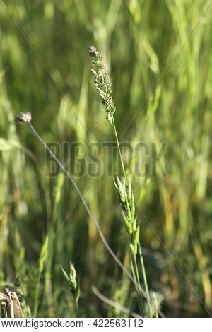 Common Velvet Grass Seeds With Green Background